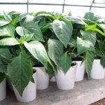 выращивание рассады перца в домашних условиях