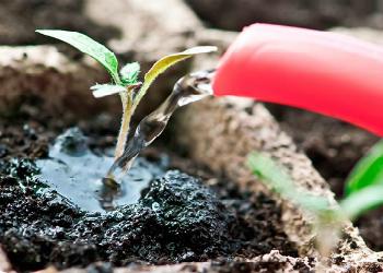 поливаем рассаду