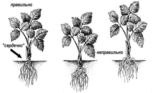 как правильно пересаживать клубнику