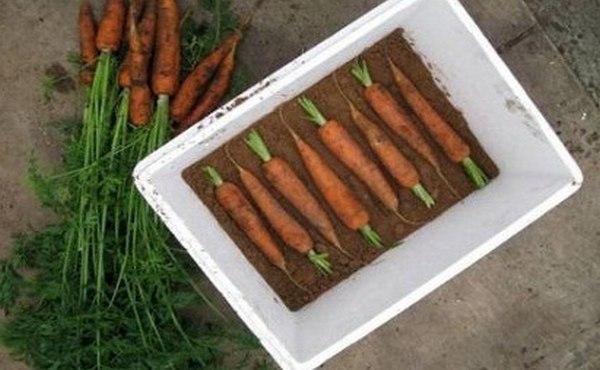 морковь в песке в ящике