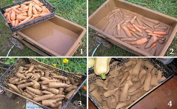 морковь в глине