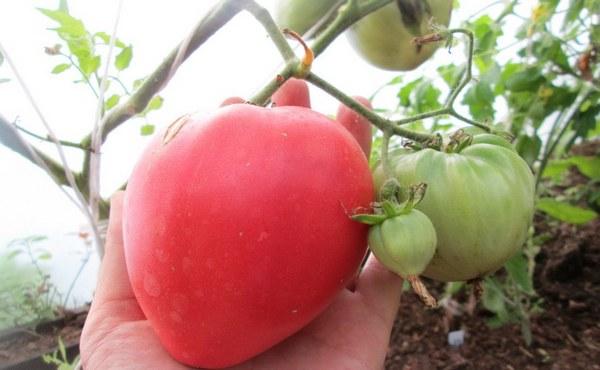 помидоры батяня