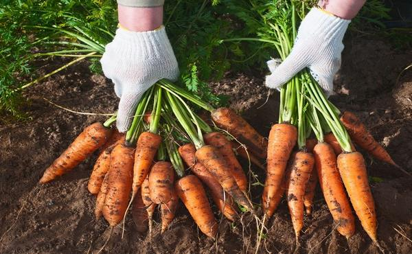 выкопанная морковь