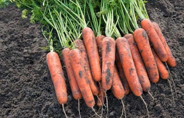 Среднеспелый сорт моркови Самсон
