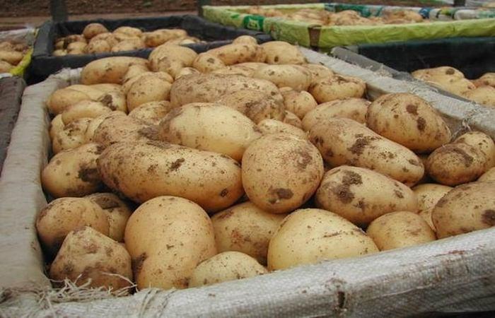 Картофель Адретта: описание сорта и характеристики, выращивание и уход с фото