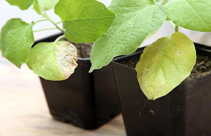 У баклажанов вянут желтеют и засыхают листья что делать