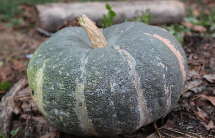 Тыква Мраморная: описание сорта, фото, отзывы, выращивание