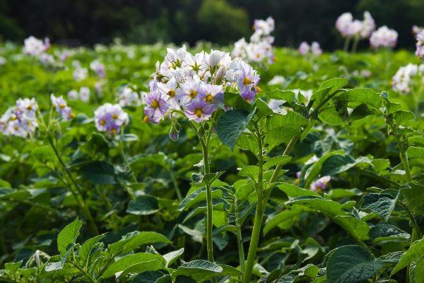 цветущий сорт картошки