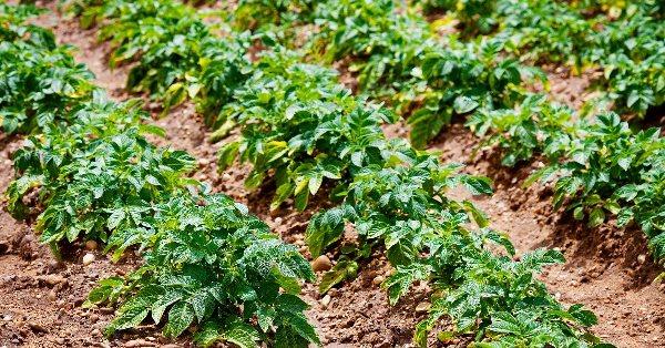 картофельные ряды