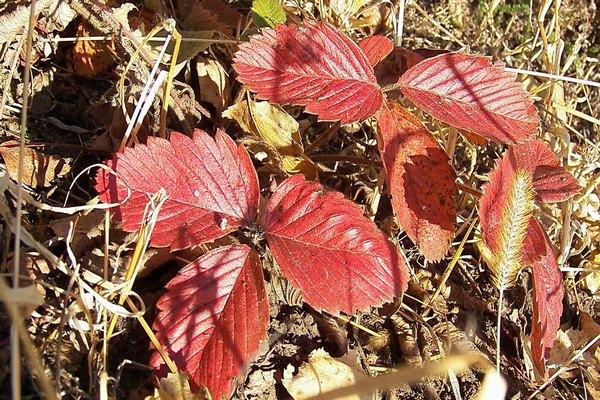 красная листва клубники