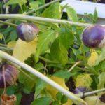 Плоды овощного физалиса