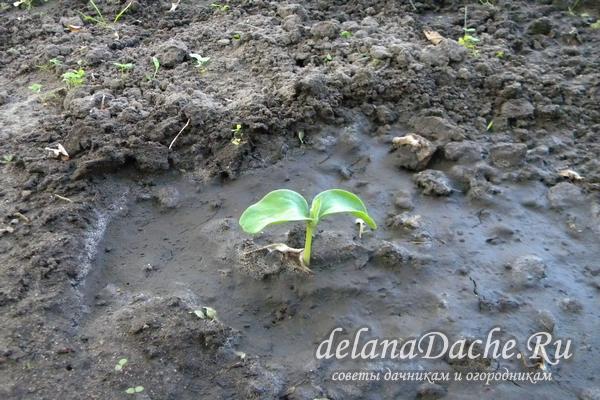 росток тыквы