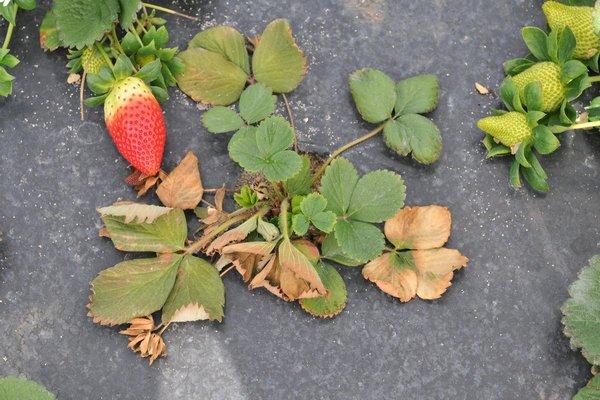 фитофтороз ягоды клубники