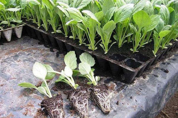 рассада капусты к выращиванию