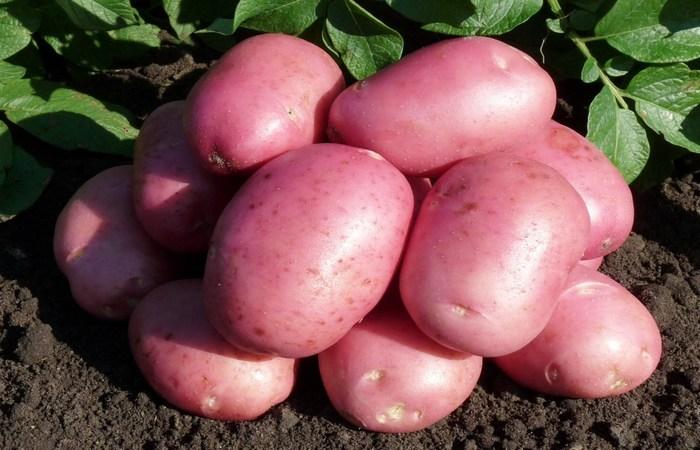 """Сорт картофеля """"Лабелла"""""""