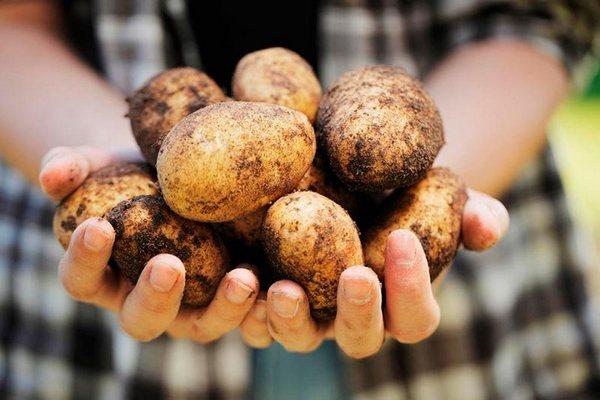 сбор урожая картошки