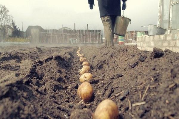 посадка картофеля Венета