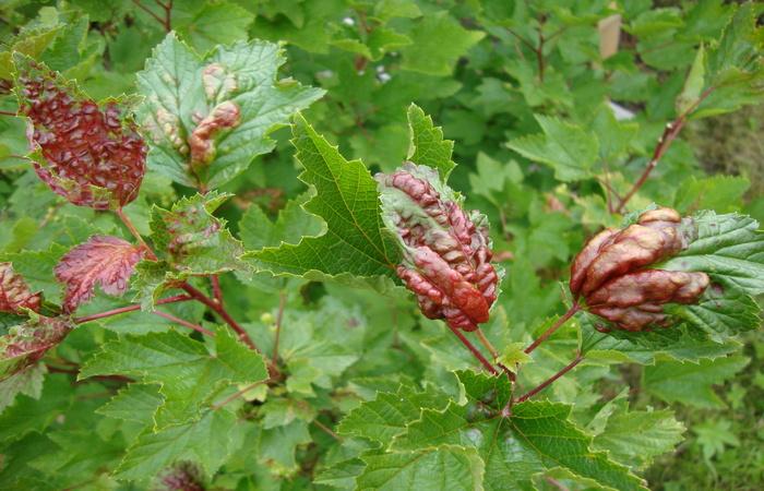 красные листья смородины