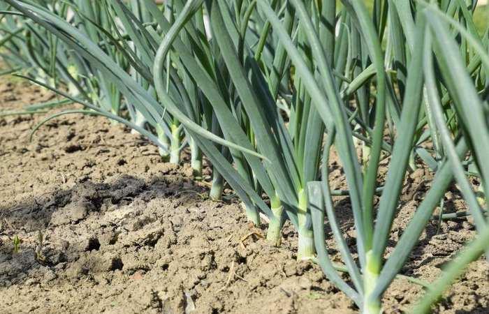 Подготовка лука севка к посадке осенью