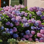 Цветущая гортензия в саду