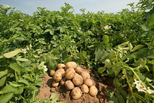здоровый картофель