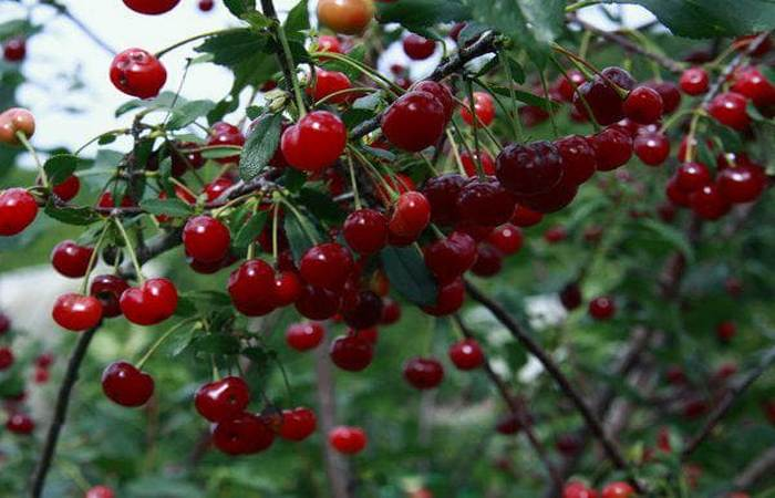 Описание сорта вишни Ашинская и характеристики плодоношения посадка и уход