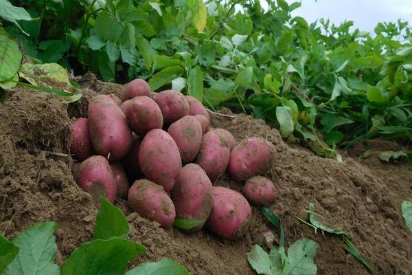 выкопанная картошка