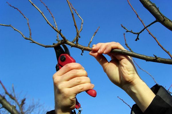 обрезка двулетней вишни