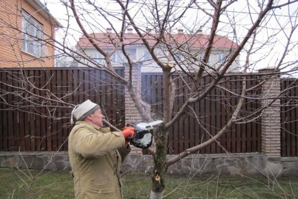 обрезка старой вишни