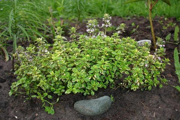 выращивание тимьяна