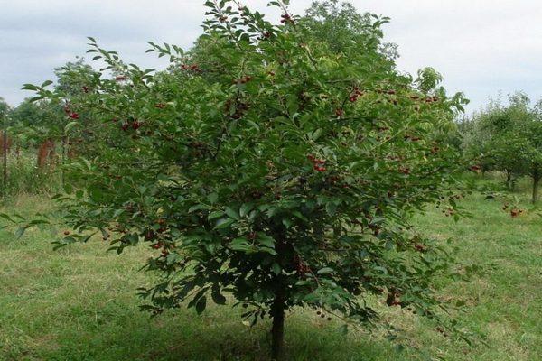 дерево вишня Шоколадница