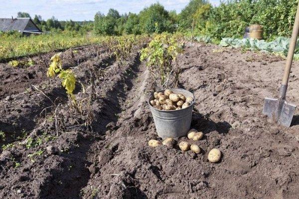время копать картофель