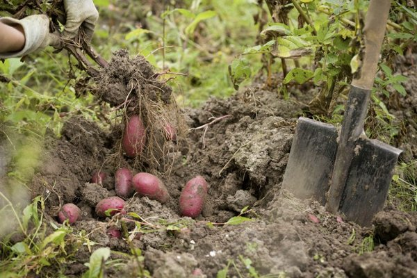 выкапывание картошки