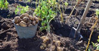 сезон копания картошки