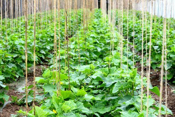 верное выращивание огурцов