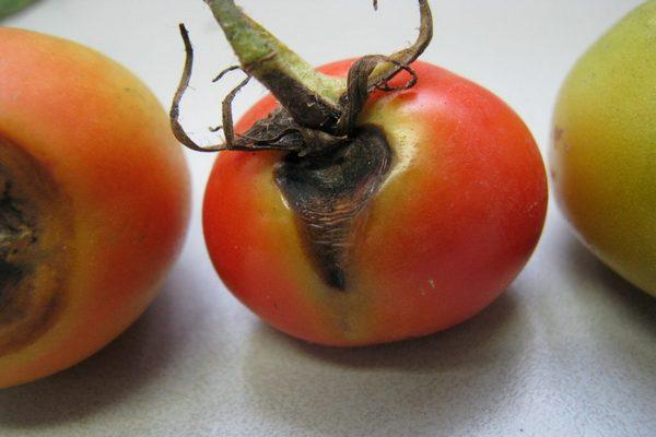 гниющий помидор
