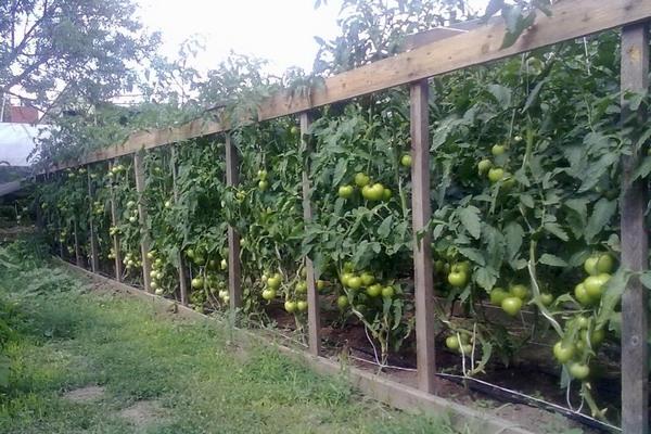 прекрасные грядки помидор