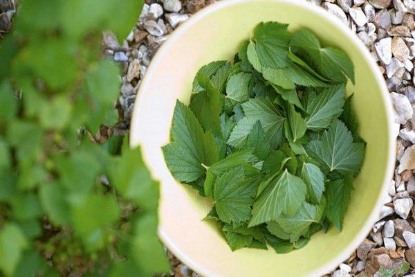 сбор листьев смородины