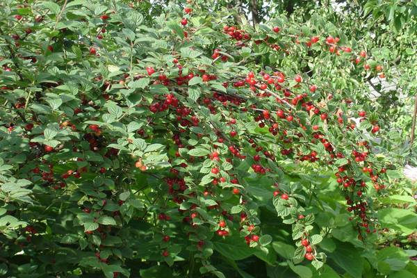 кустик войлочной вишни