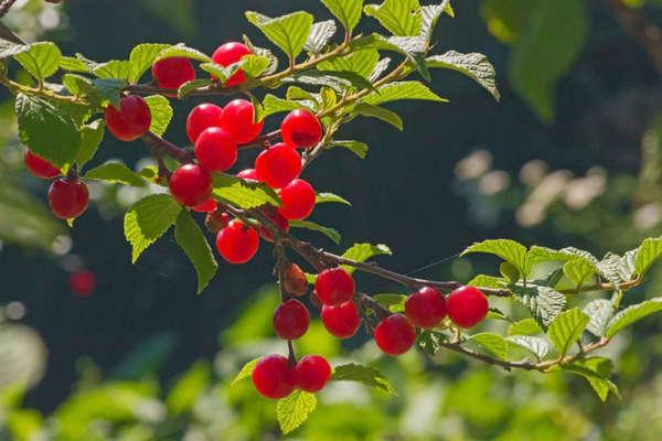 спелая войлочная вишня