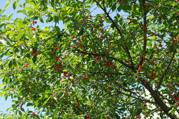"дерево вишня ""Призвание"""
