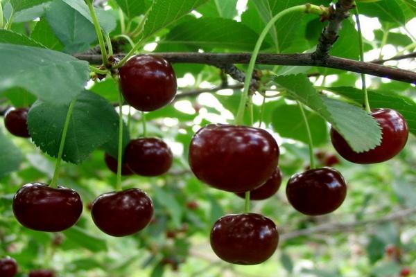ягоды Тургеневки