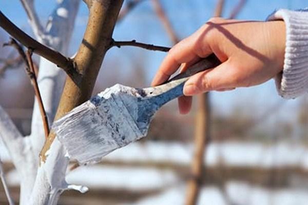 побелка купоросом ствола вишни