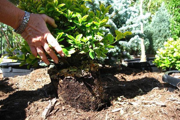 выращивание камчадалки