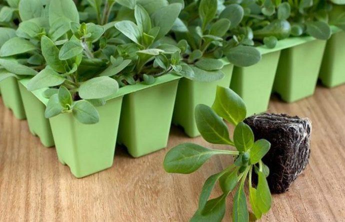 как сажать семена колеуса на рассаду видео