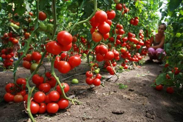 идентерминантные помидоры