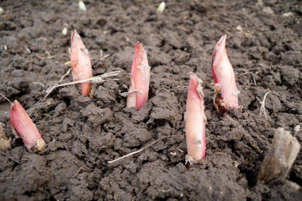 пионы весной