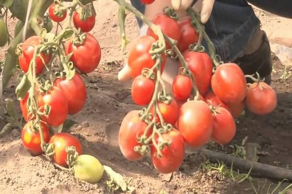 выращивание сладких томатов