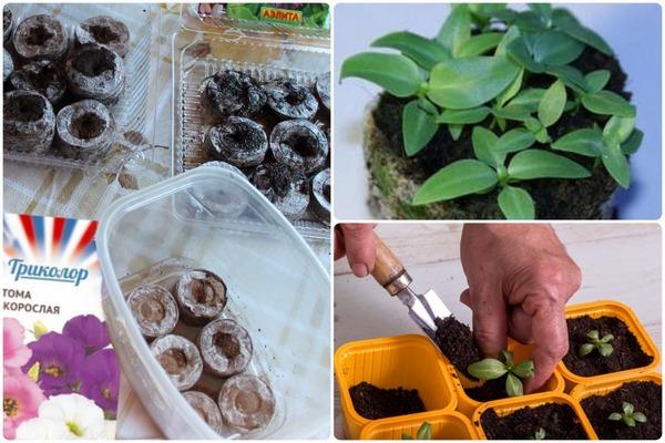 подготовка посадки семян эустомы