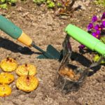 посадка гладиолусов в открытый грунт